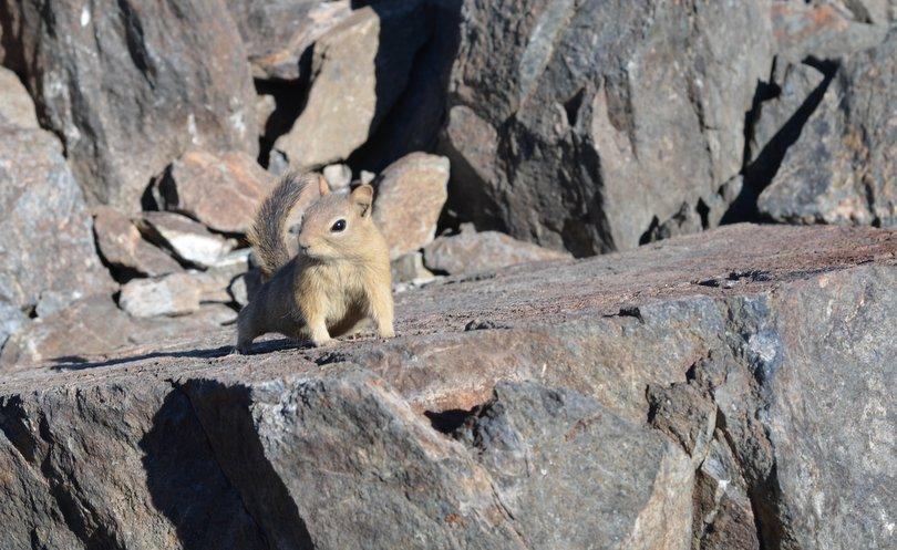Hungry Chipmunk Mt Tallac